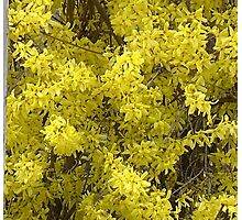 Forsythia Glory....title by jules572....Thank You jules!! Photographic Print