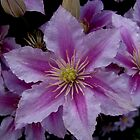 Beautiful  Clematis by Linda Miller Gesualdo