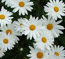 Daisies Galore by ScenerybyDesign