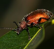 Brown Darkling Beetle by Jason Asher