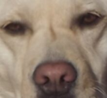 Pissed Off Yellow Labrador Sticker