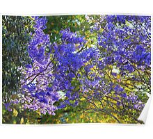 Morning canopy - the rising sun highlights the leaves of Jacaranda trees Poster