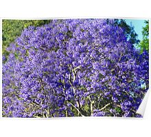 Greeting the sun - A Jacaranda tree greets the morning sun Poster