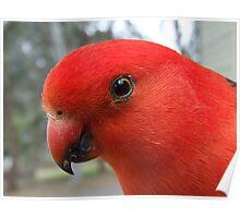 Australian King Parrot 2009/02 Poster