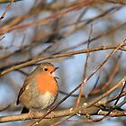 A Singing Robin by GoWildScotland