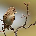 A Redpoll On A Perch by GoWildScotland