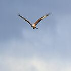 A Red Kite in the Clouds by GoWildScotland