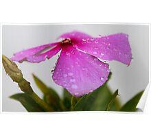 Little treasure - a flower after rain Poster