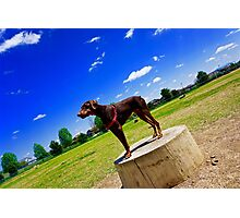Red Doberman Pincher Photographic Print