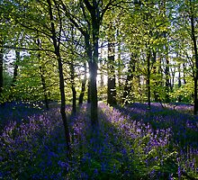Bluebell Woodland, Cornwall, UK by Emma Duncan