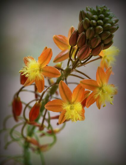 Bulbine frutescens  by LauraBroussard