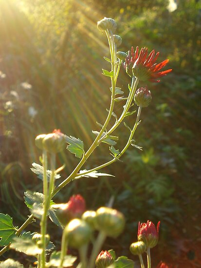 Red Sunlit Flora by A L G O