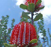 Scarlet Banksia, Monjimup Lake Reserve, Esperance, Western Australia by Adrian Paul
