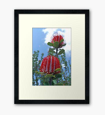 Scarlet Banksia, Monjimup Lake Reserve, Esperance, Western Australia Framed Print