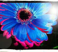 Two Tone Gerbera by BC Family