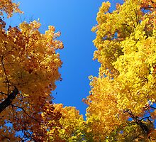 Golden trees and the blue blue sky by mojgan
