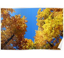 Golden trees and the blue blue sky Poster