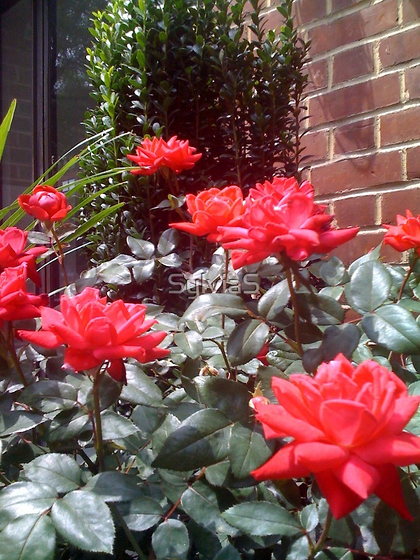 Greenwich Village Roses by SylviaS