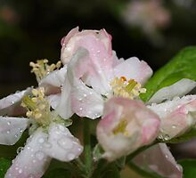 Pink Spring Apple Blossoms by Virginia McGowan