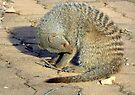 Banded mongoose by Elizabeth Kendall