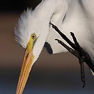 Great Egret by tomryan