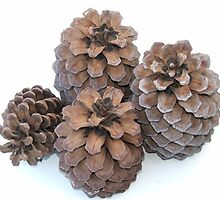 Pine Cones by ScenerybyDesign