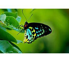 Cairns Birdwing Photographic Print