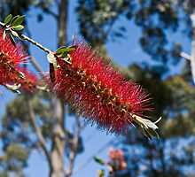 Callistemon Citrinus by mattsibum