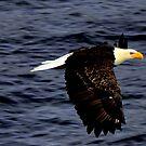 Eagle in Flight #1  by lanebrain photography