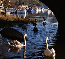 Swans Under Graiguenamanagh Bridge by Andrew Jones