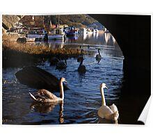 Swans Under Graiguenamanagh Bridge Poster