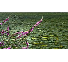Sharp Relief Foxgloves at Wallington Photographic Print