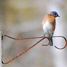 Eastern Bluebird by Irvin Le Blanc