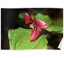 Purple Trillium (Trillium erectum) Poster