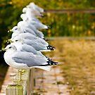 Seagulls-Lake Champlain by BigD