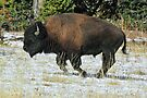 Running Bull in Yellowstone N.P. by Ann  Van Breemen