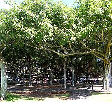 The Banyan Tree of Lahaina....... by DonnaMoore