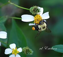 Bumblebee - seasons end flowers by rd Erickson