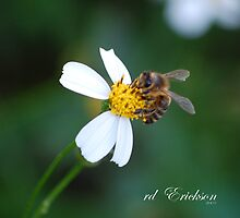 Honey bee - preparing for winter by rd Erickson