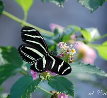 Zebra Longwing - State of Florida Butterfly by rd Erickson