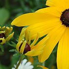 Black-eyed susan with bug by David Galson