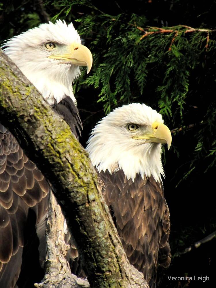 Bald Eagles by Veronica Schultz
