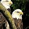 Bald Eagles by Veronica Schultz