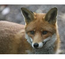 Red Fox Photographic Print