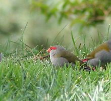 Red-browed Firetail Finches by VickiM