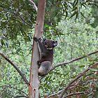 Koala in a Eucalyptus Tree by blindskunk
