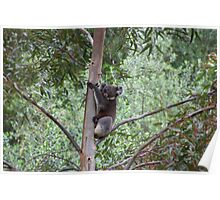 Koala in a Eucalyptus Tree Poster