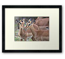 Impala Love Framed Print