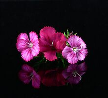 Dianthus by Tom Newman