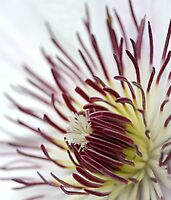 Clematis Heart 4 by Samantha Bailey